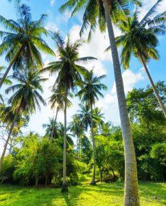 palmeras cocoteras